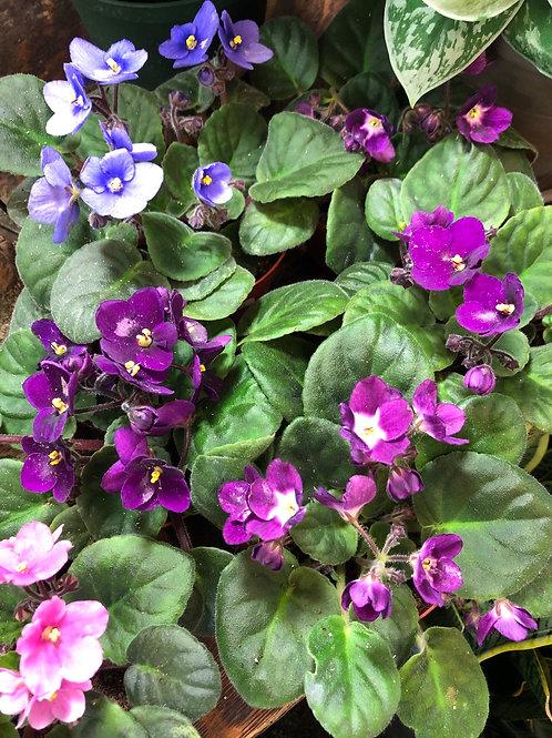 "African Violets Assorted 4"""