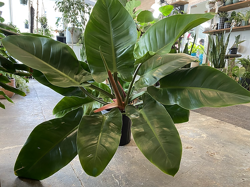 """Philodendron Imperial Green 10"""""""