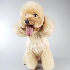 Teddy Bear Poodle Grooming