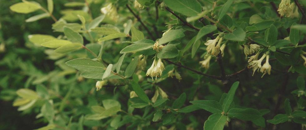 haskap-our-growers-bkg.jpg