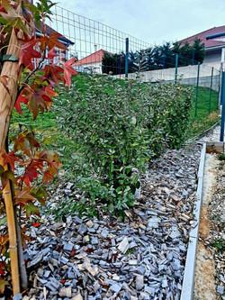 2. Prunus lusitanica