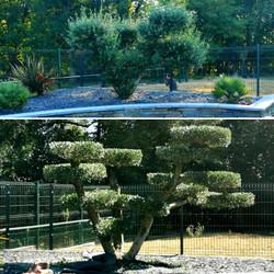 Taille olivier nuage.jpg