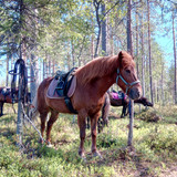 icelandic horse in forest
