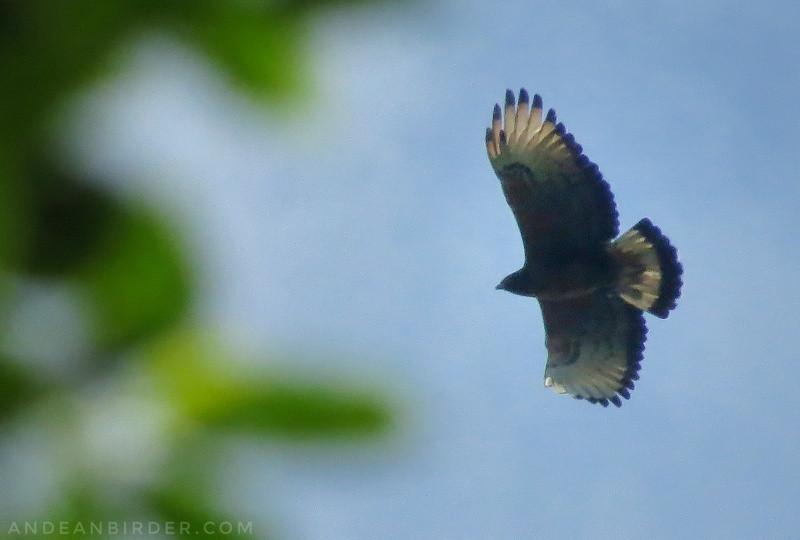 Black-and-chestnut eagle Spizaetus isidori