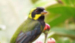 Endemic Gold-ringed tanager Bangsia aureocincta