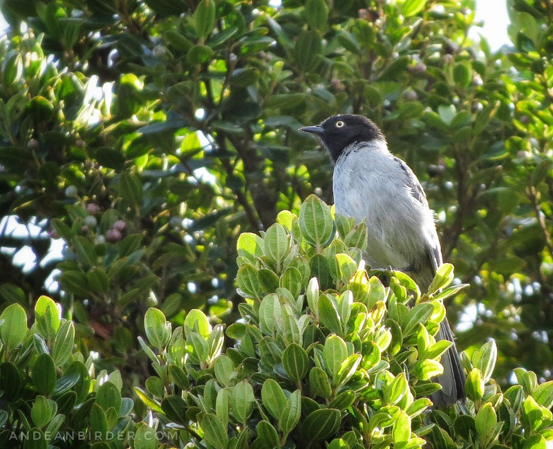 Black headed hemispingus Hemispingus verticalis