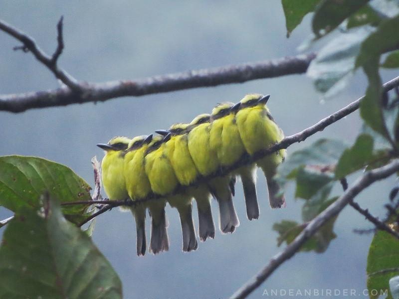 Lemon-browed Flycatcher Conopias cinchoneti