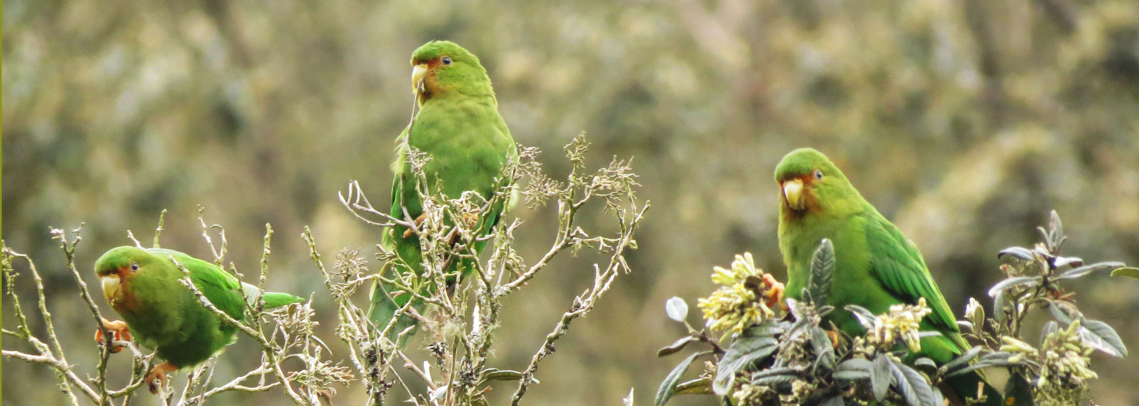 ENDEMIC Rufous-fronted Parakeet