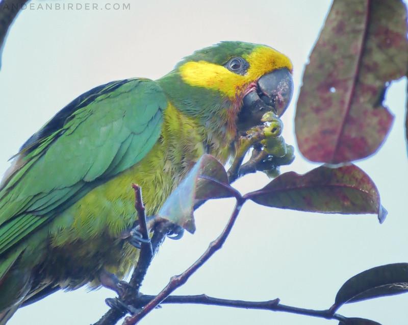 Yellow-eared Parrot Ognorhynchus icterotis Jardin Antioquia