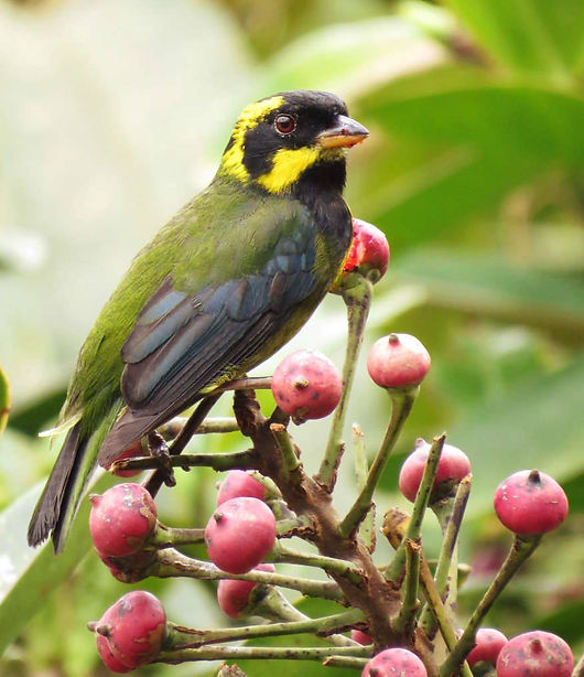 Endemic Gold-ringed tanager birdwatching birding colombia