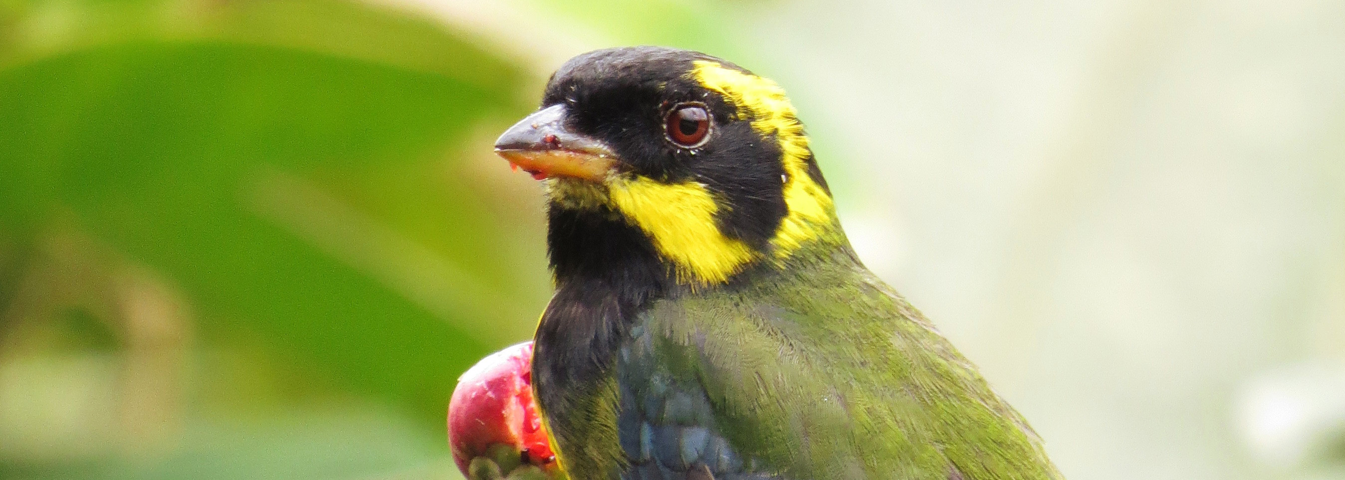 ENDEMIC Gold-ringed Tanager