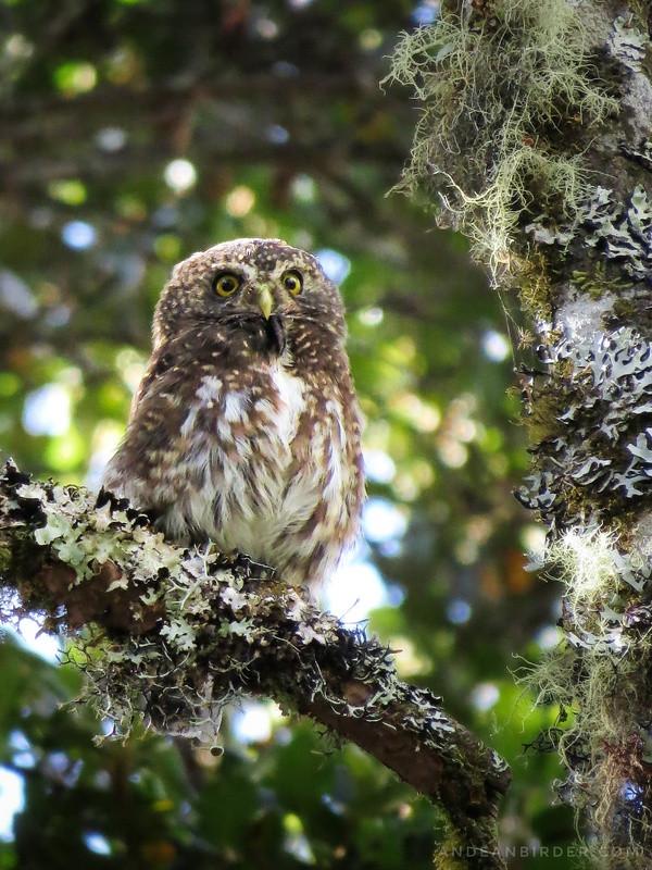 Andean Pygmy Owl Glaucidium jardini