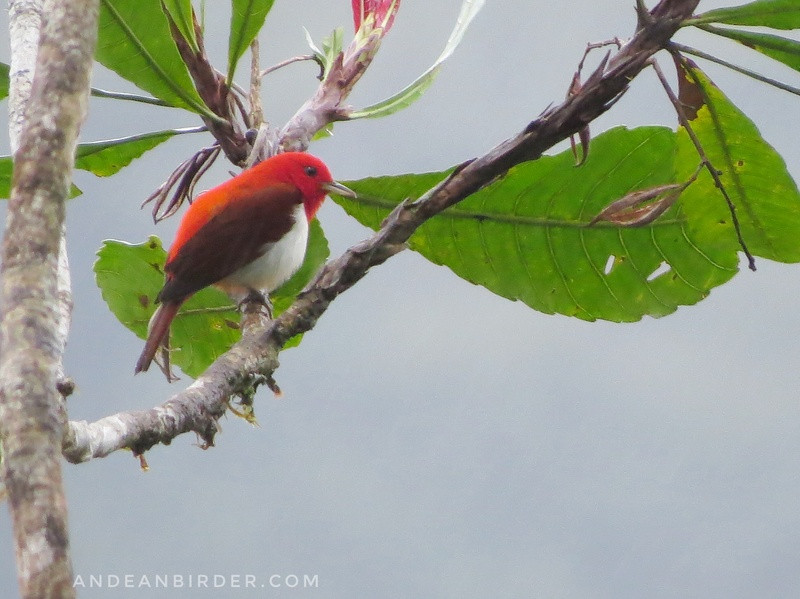 Scarlet-and-white tanager Chrysothlypis salmoni