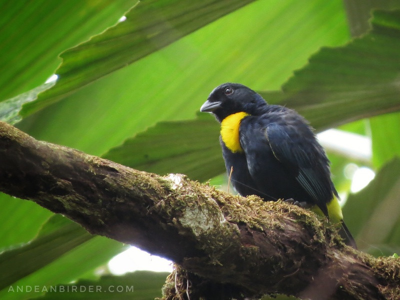 Golden-chested Tanager Bangsia rotschildi