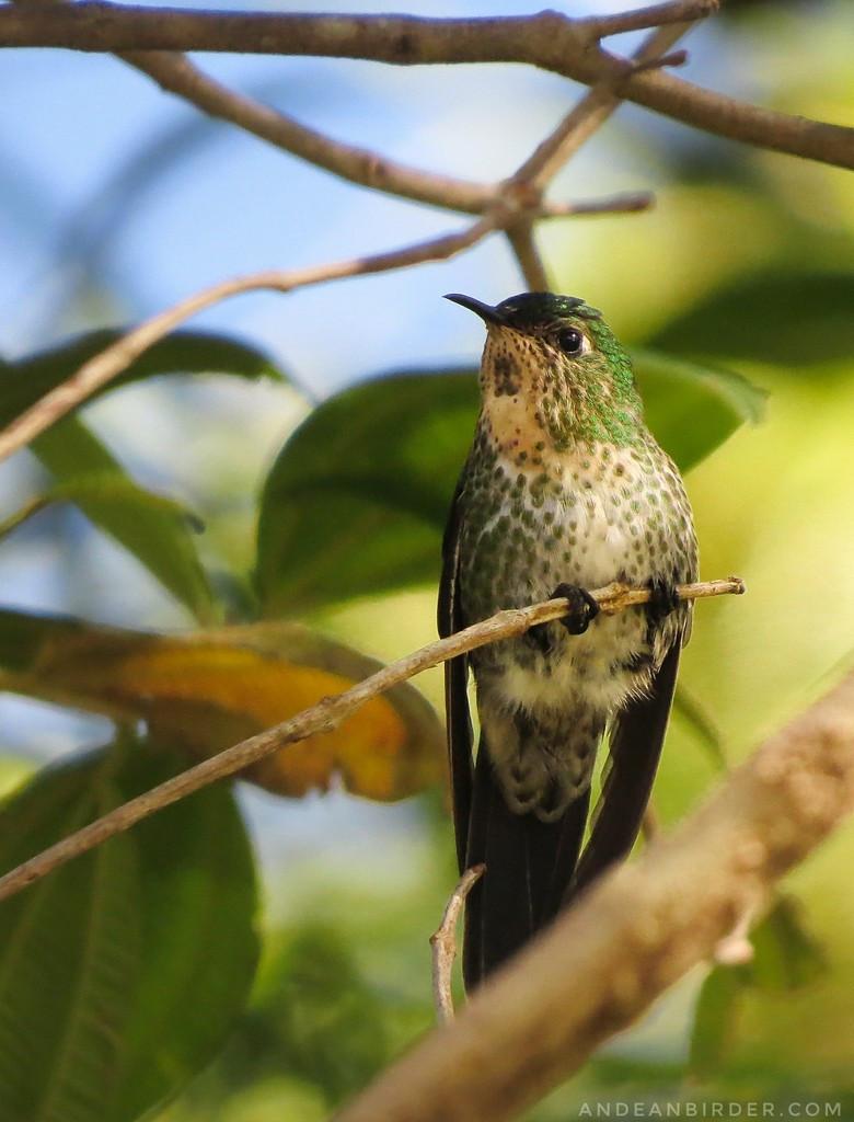 endemic Black-backed thornbill Ramphomicron dorsale