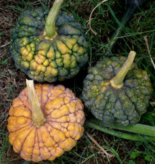 Black Futsu Winter Squash