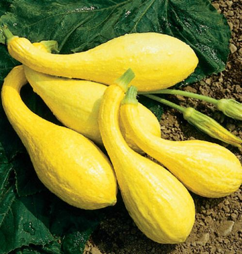 Yellow Crook Neck Summer Squash