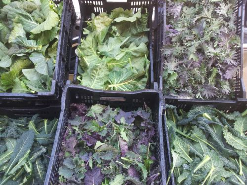 Kale Selections