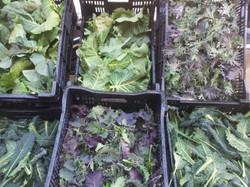 Kale Selections