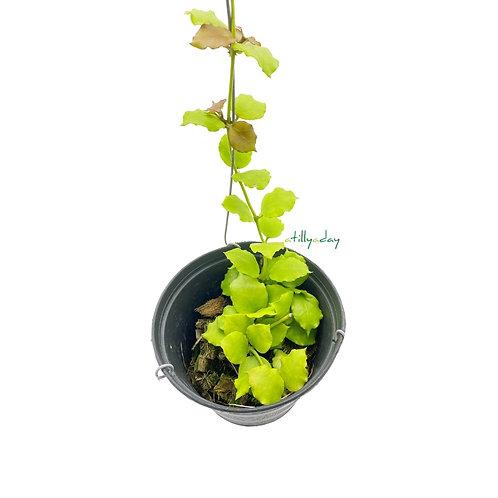 Hoya Enduaensis
