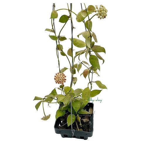 Hoya Walliniana with flowers