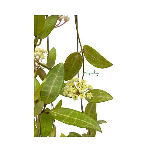 Hoya Elliptica Flower
