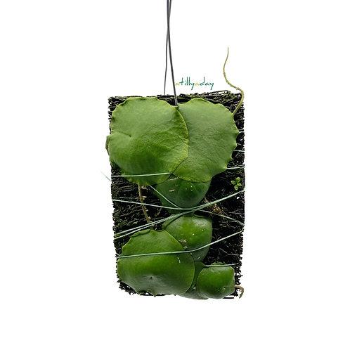 Hoya Imbricata Green