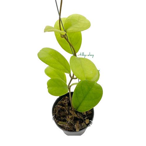 Hoya Viola
