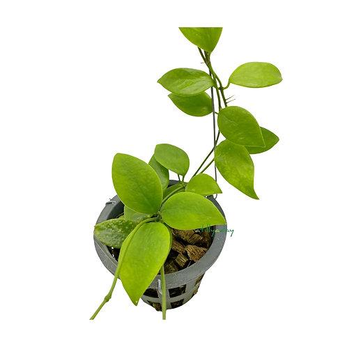 Hoya Vanuatuensis