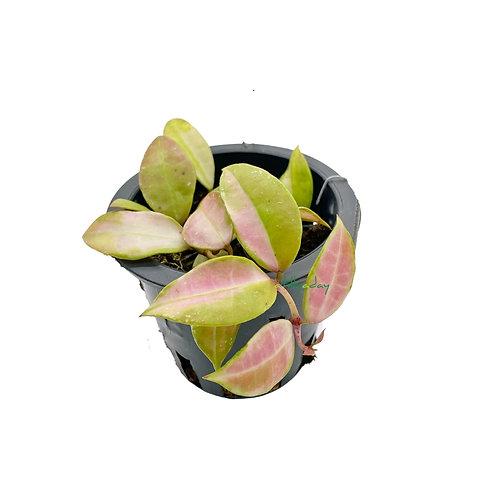 Hoya Obscura Variegata