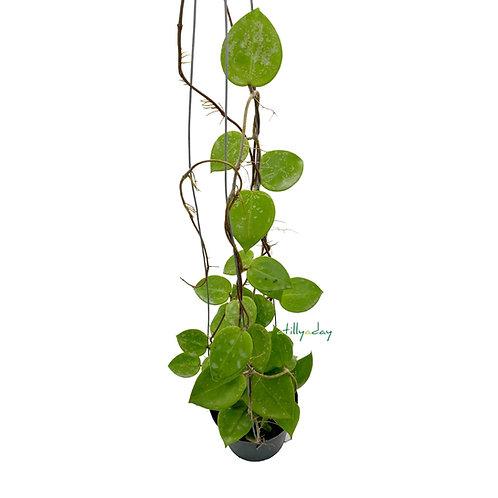 Hoya Parasitica Heart Leaves 'Splash'
