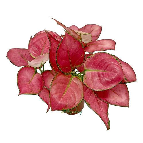 Aglaonema 'Red Anjamani'
