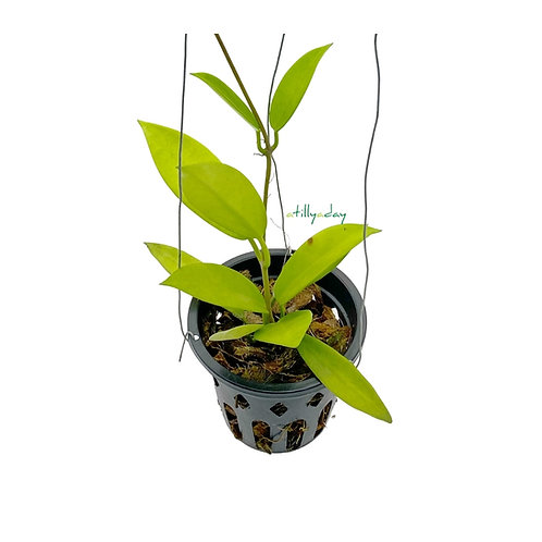 Hoya Pubicorolla HF Blue