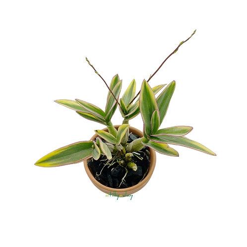 Dendrobium Thai Pearl