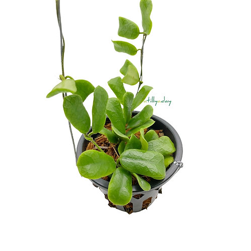 Hoya Rotundifolia