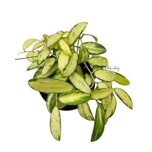 Hoya Acuta Variegata