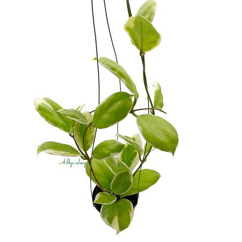 Hoya incrassata albomarginata
