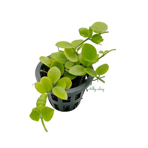 Hoya Biakensis