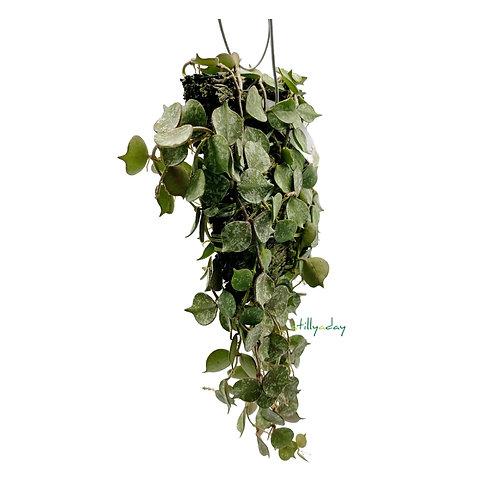 Hoya Curtisii (on fern bark)