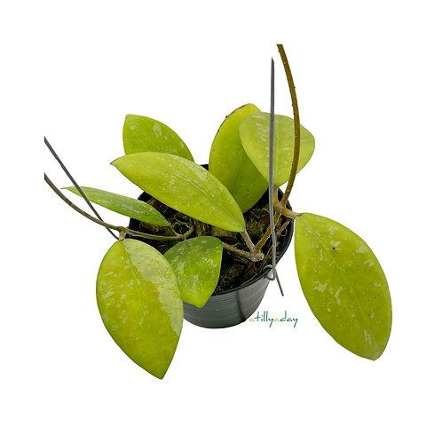Hoya Erythrostemma (Splash)