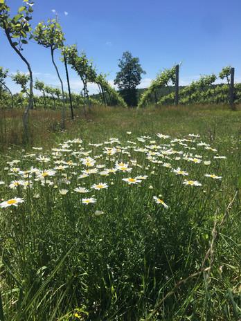 Vineyard in May