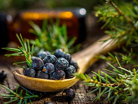Juniper-Berry Plant.jpg
