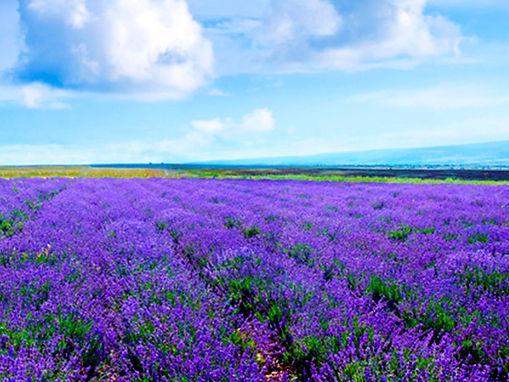 Lavender Plant .jpg