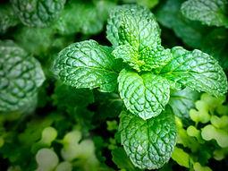Peppermint plant.jpg