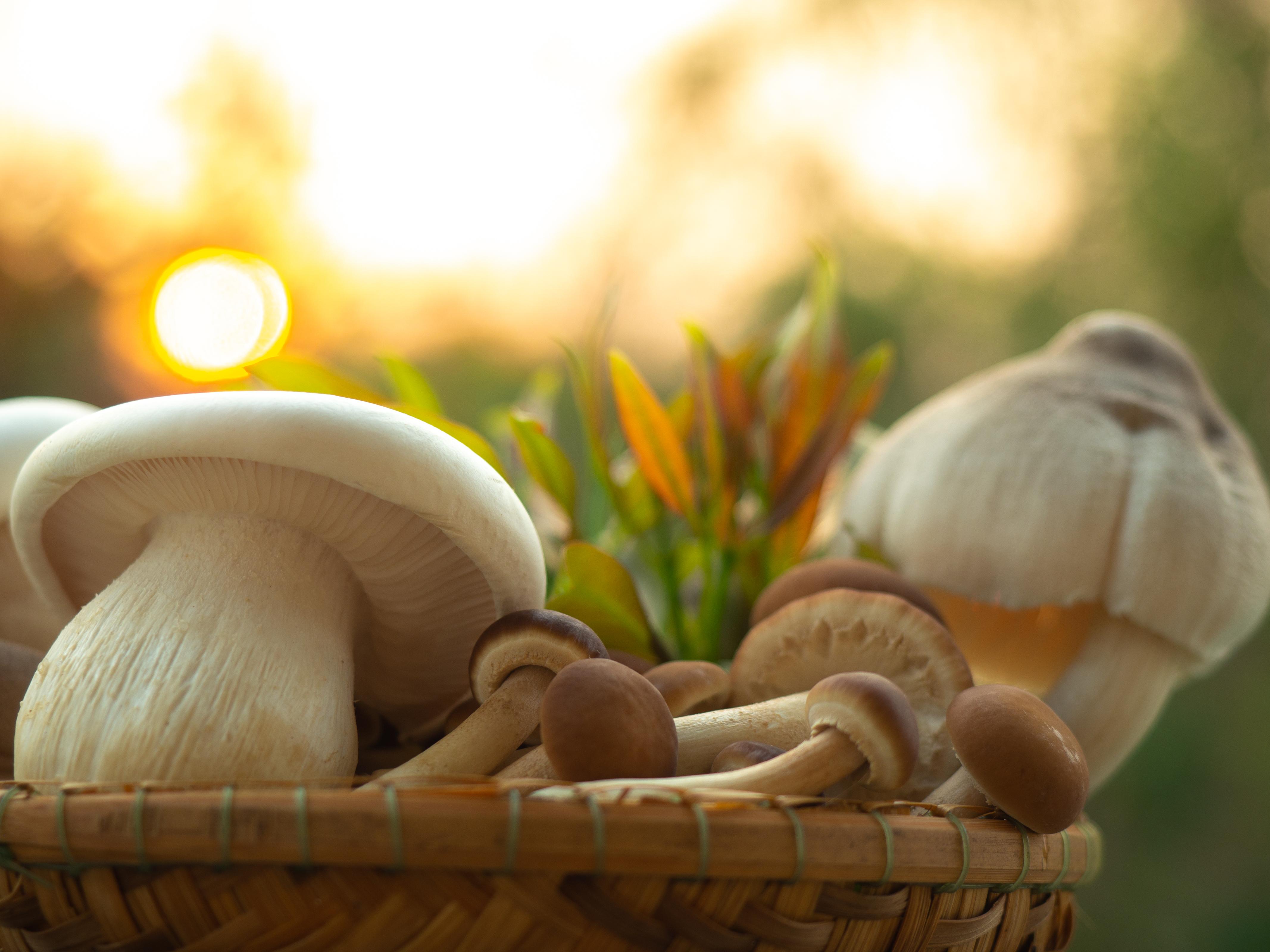 Closeup variety of edible mushroom Milky