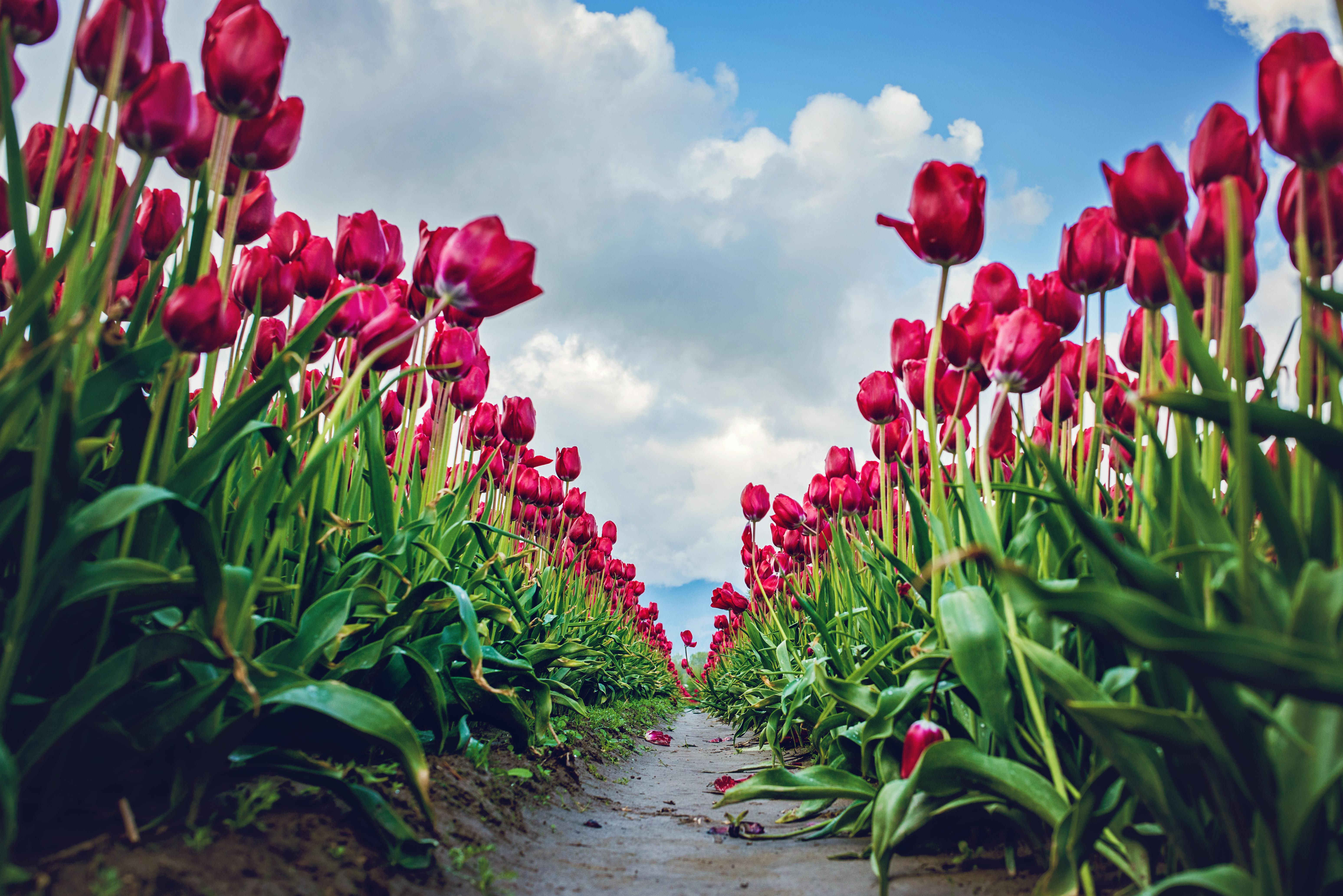 tulips-100-48e