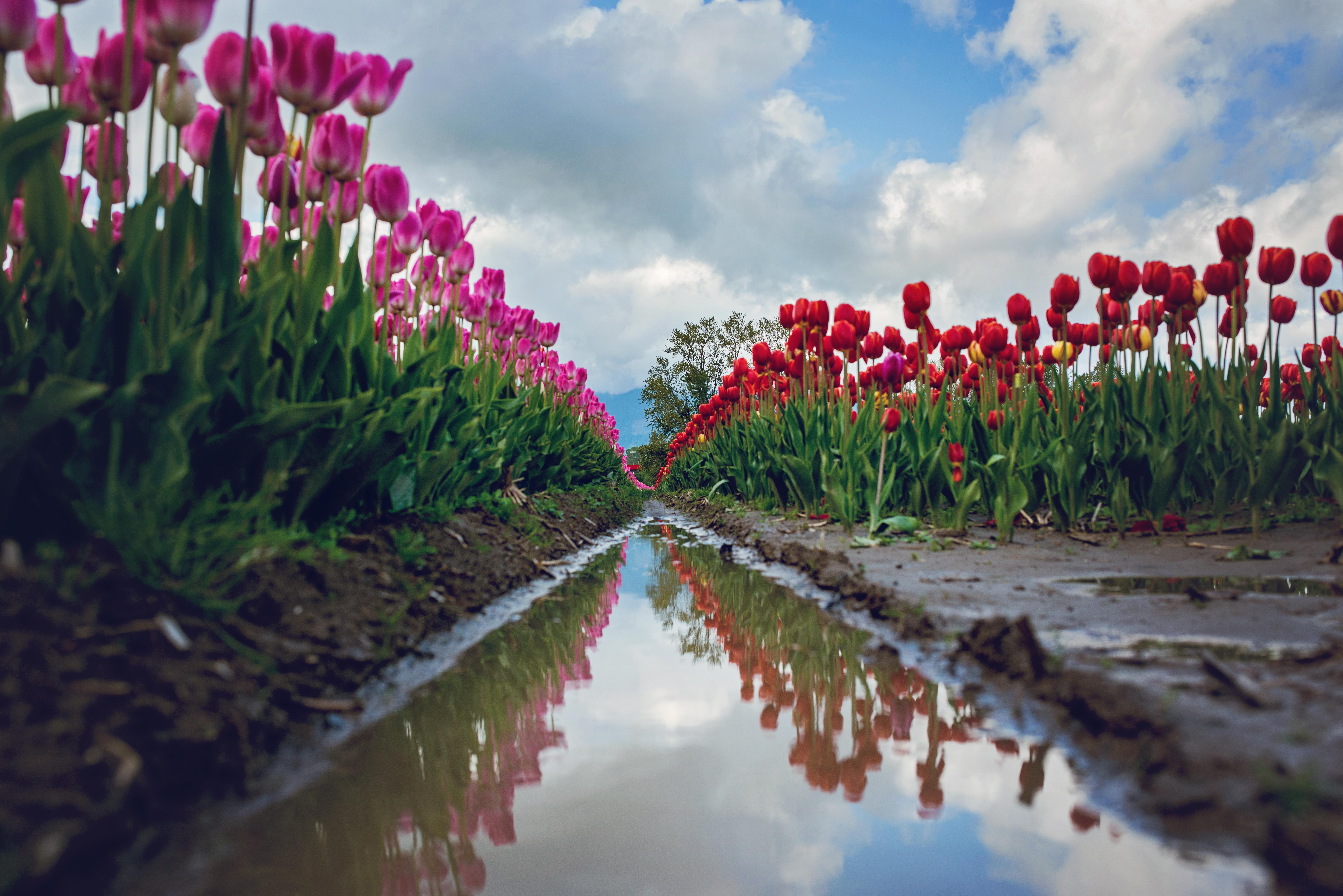 tulips-100-46e