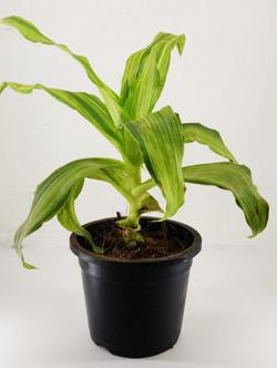 Callisia Fragrans (Basket Plant)