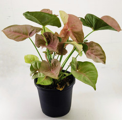 Syngonium podophyllum (red)