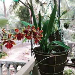 Orchids in bloom at Augusta's Garden._._